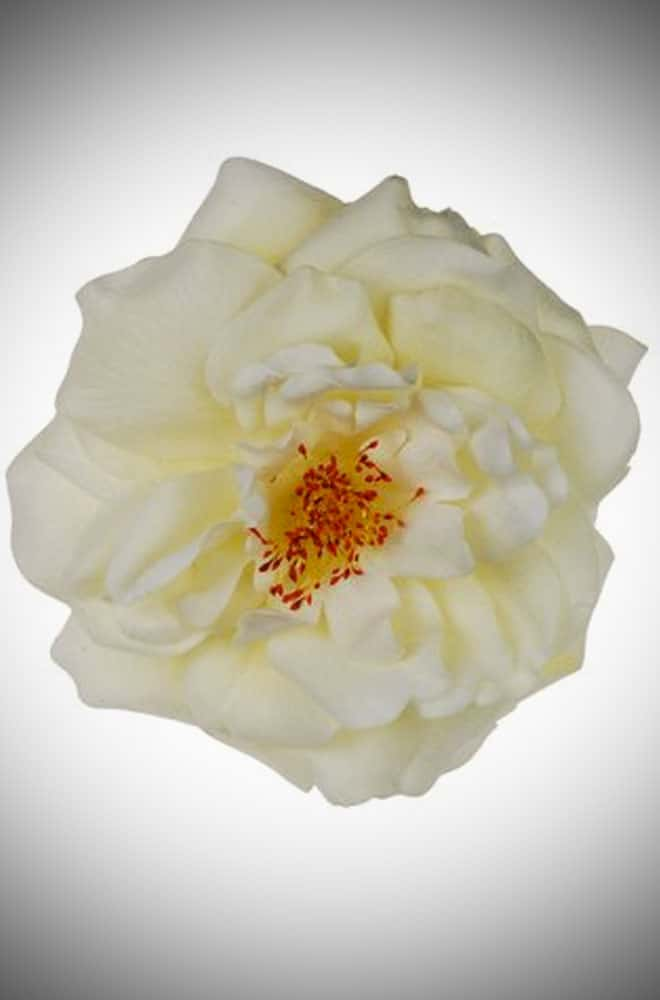 Ivory Duchess rose corsage & hair clip that is perfect for pinups